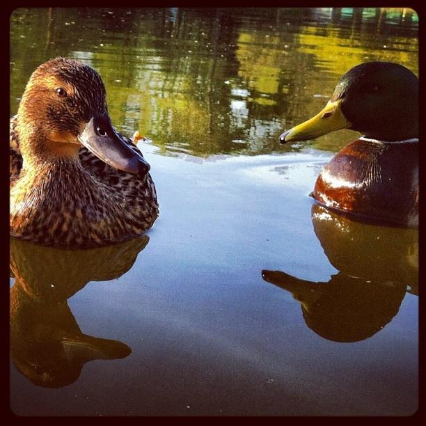 #beauty #nature #ducks by Yael Rozencwajg