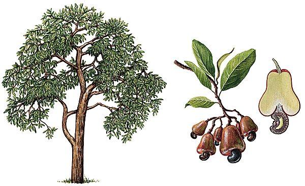 Anacardier - cajou