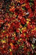 Parthenocissus quinquefolia (wilde wingerd),  Een snelgroeiende, zelfhechtende klimplant. Het vijftallige blad, dofgroen van kleur, verkleurt in de herfst naar schitterend purperrood. De bloemen, groenachtig  in de lente, veranderen laat in de zomer in harde paars-zwarte besjes.  Verkrijgbaar in de hoogte 60-80 cm.
