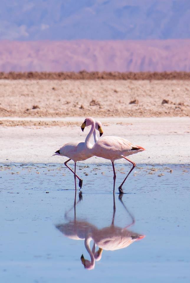 Flamingos del Desierto de Atacama