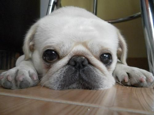 white pug puppy. Holy crap. Adorbs. :) @lpratte91 now I can't decide if I wanna a black or white pug :/