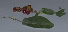 Prunus virginiana - Wikipedia, the free encyclopedia...The chokecherry fruit can be used to make a jam, jelly, or syrup, but the bitter nature of the fruit requires sugar to sweeten the preserves