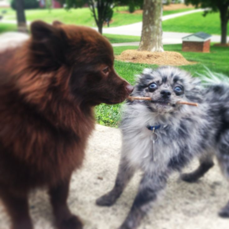 Chocolate Pomeranian and a Blue Merle Pomeranian.  My babies:)
