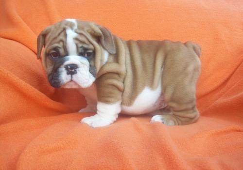 English Bulldog, so cute!