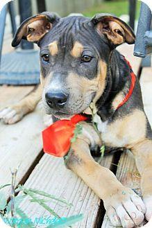 Gilbert, AZ - Shar Pei/Rottweiler Mix. Meet Jackson, a puppy for adoption. http://www.adoptapet.com/pet/12029320-gilbert-arizona-shar-pei-mix