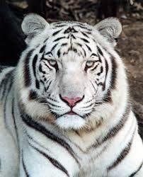 Gambar Harimau Putih : gambar, harimau, putih, Harimau, Putih, Peralatan, Perlengkapan, Aksesoris, Hamster, Jambi, Putih,, Kucing, Besar,, Humor, Hewan