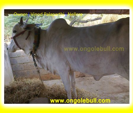 Ongole Cow|Nellore Ongole cattle Image|Ongole Ox:: OngoleBull ::