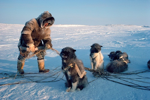 Aakuainuk, an Inuit hunter dressed in traditional caribou skin clothing, untangles the traces of his dog team. Igloolik, Nunavut, Canada: Canadian Eastern Arctic,: Arctic & Antarctic photographs, pictures & images from Bryan & Cherry Alexander Photography.