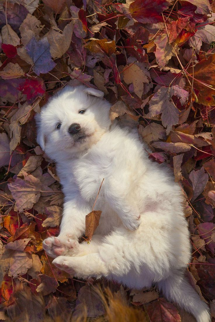 Great Pyrenees Puppy.  ••••(KO) This puppy is  lying in the Fall leaves contemplating naughtiness and adventure. He's pretty much settled on naughtiness.
