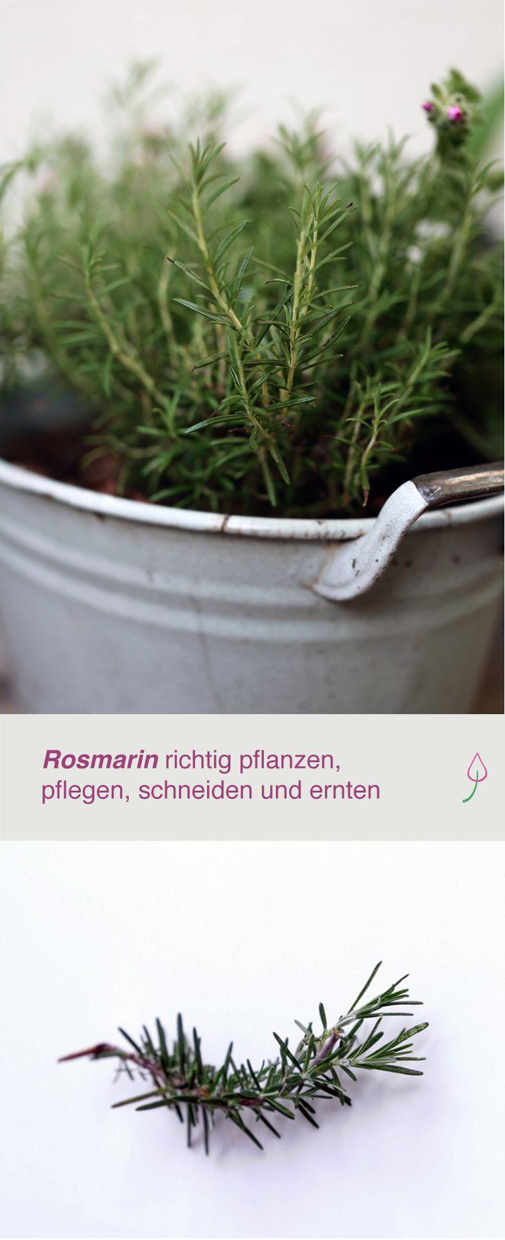 Nice Rosmarin im Garten und auf dem Balkon pflanzen pflegen schneiden