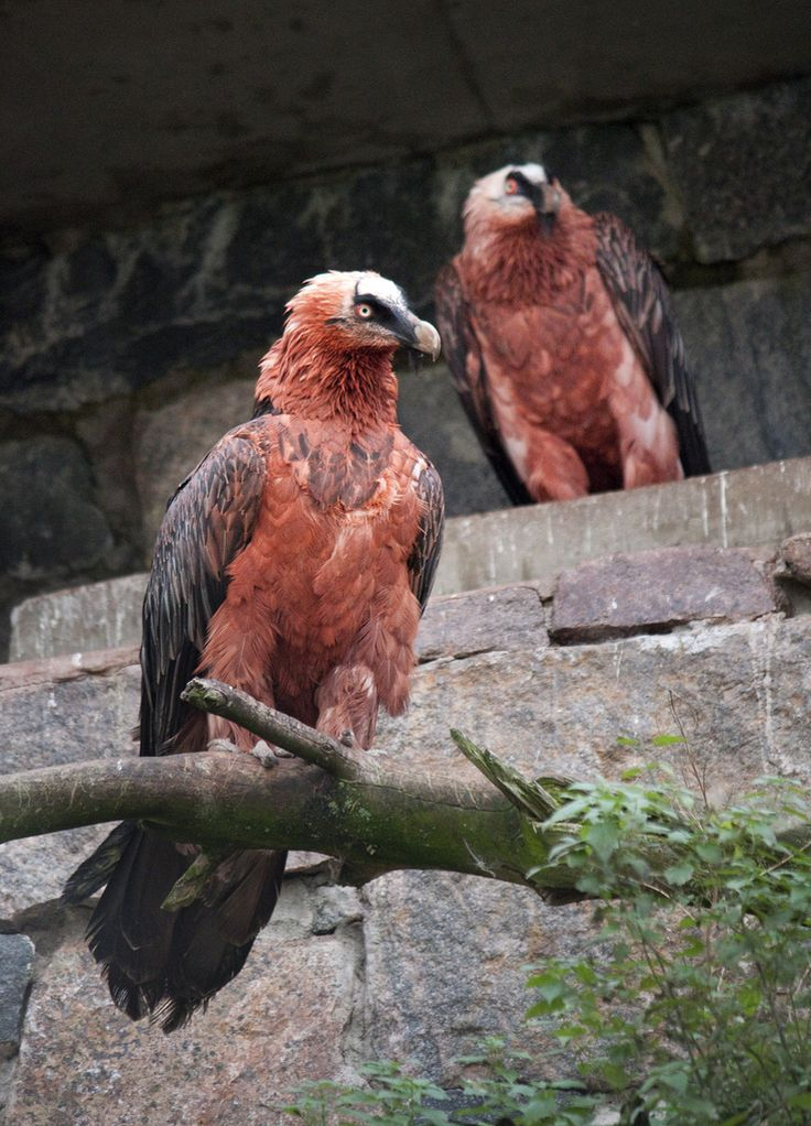 Bearded Vulture couple | Picture by: Maarit Hohteri  Helsinki Zoo archives