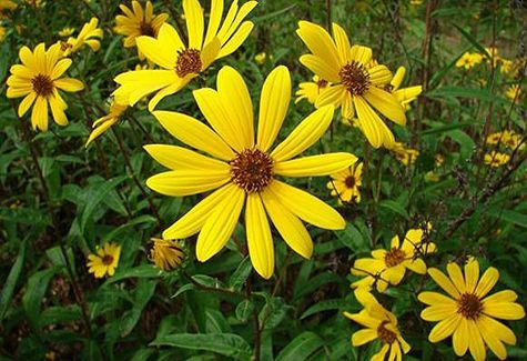 """It's National Wildflower Week! This wild sunflower, also known as the """"swamp sunflower"""", is native to our region and provides a gorgeous backdrop all across Louisiana in the spring and summer months. Get out there this weekend and enjoy Mother Nature and this beautiful weather! #willowgrovelandscape #nationalwildflowerweek #mothernature"""