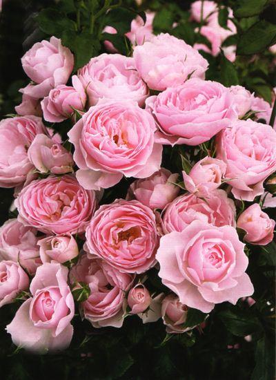 Hans Gonewein Rose | hans gonewein rose rosen tantau 2009 rosa floribunda erbustiva rosa ...
