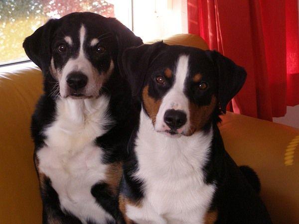 Ingezonden foto's van Appenzeller Sennenhond Ingezonden op: 15 juli 2015: Bruno/Freya Vader en dochter, Bruno is 14 jaar dochter Freya is 3 jaar