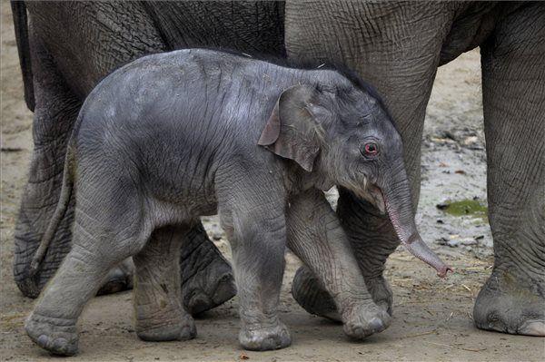 Kiselefánt született a Budapesti állatkertben   MTI Fotó: Kovács Attila - PROAKTIVdirekt Életmód magazin és hírek - proaktivdirekt.com