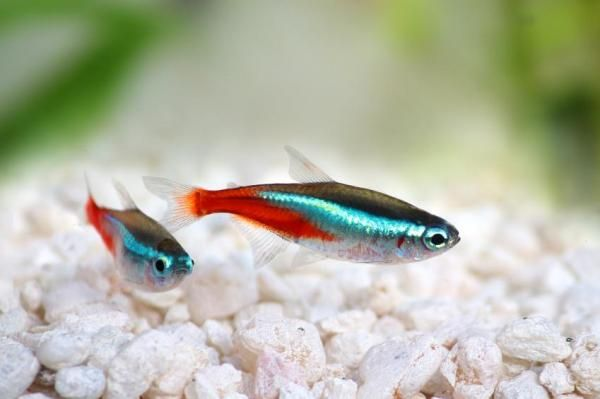 Fish Compatible With Guppies Tank Mates Tetra Fish Neon Tetra Fresh Water Fish Tank