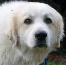 Kratos is an adoptable Great Pyrenees Dog in Beacon, NY. Kratos is a 1-2 yr old GORGEOUS 70 lb pyr with a heart of gold. He LOVES people and will sometimes display that love with a hug around the wais...