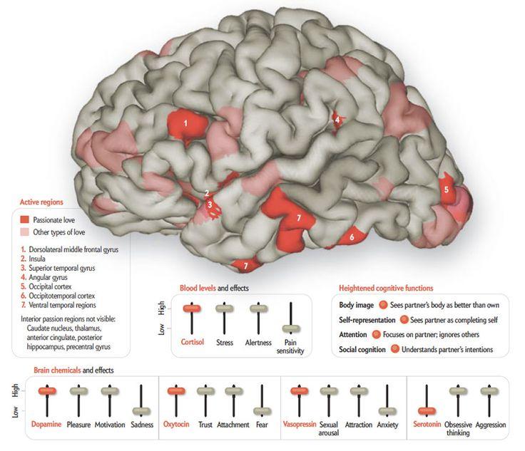 Neurobiología del amor