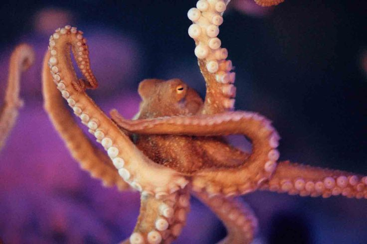 "Ollie the Octopus says, click for ""10 Terrific Facts About Octopuses"""