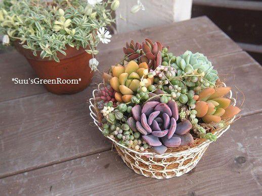 ブリキバケツに古紫の寄せ植え☆ の画像|Suu'sGreenRoom