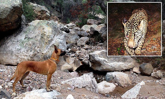 Failed border detection dog gets new life tracking only jaguar in US