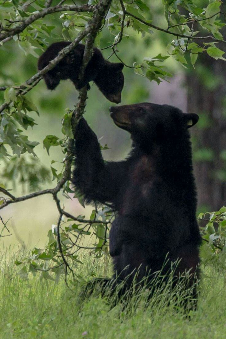 This is a story from early this spring. Not to worry I'm shooting with a 800mm lens. This cub refused to come down out of this tree after she called for it several times. Then she grabed the branch and sternly repeated her request. The cub quickly came down with mom's help!