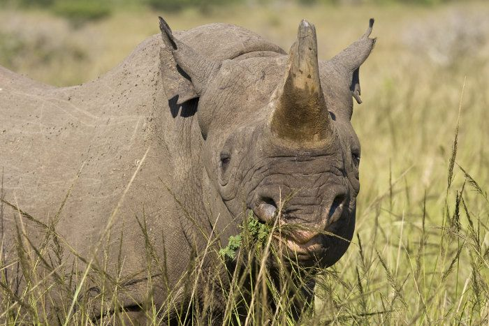 What Do Rhinos Eat? Discover the Full Story of a Rhino's ...