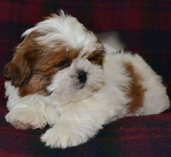 Winston Shih Tzu Puppy Puppyspot Shih Tzu Puppy Puppies Shih Tzu