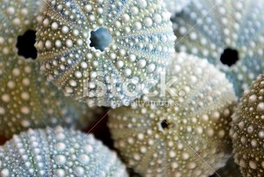 Kina - NZ Sea Urchin (Evechinus Chloroticus) Royalty Free Stock Photo