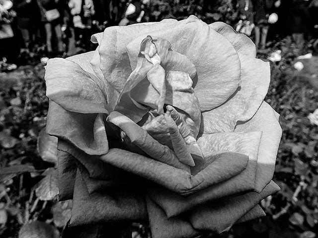 FOTOS SIN PORQUE: Dar mayor importancia a las formas.  #Fotografía en Blanco y Negro,#fotos, #Fotos de flores, #imágenes de flores, #imágenes de rosas, #photos