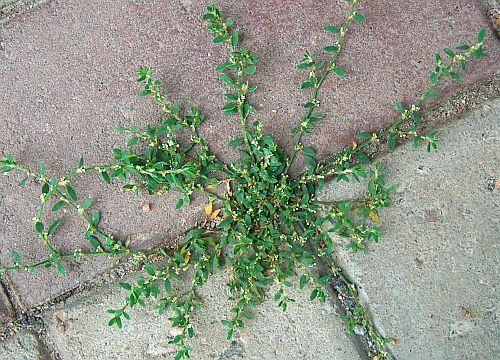 http://saveti.framar.bg/пийте-чай-от-пача-трева-срещу-кашлица-или-правете-гаргара-с-него