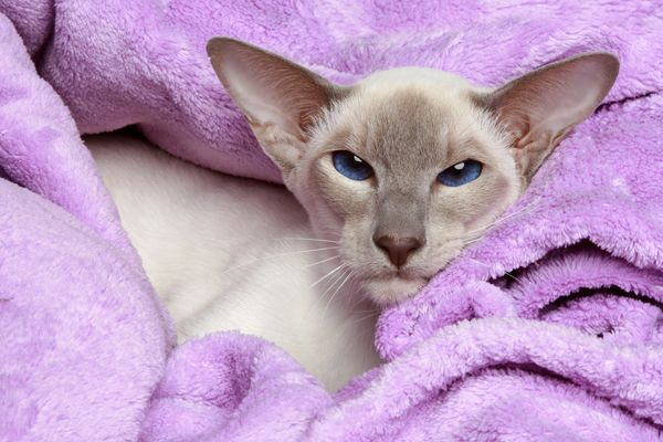 Lilac point Siamese cat resting in a warm blanket by Shutterstock