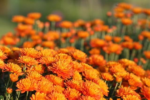 Too often mums are an impulse buy at the nursery in fall, when already in bloom late in the season. but they can actually be hardy perennials in most gardening zones, Here's how.