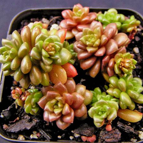 Cremnosedum 'Little Gem'  always on the lookout for tiny plants for our miniature container gardens