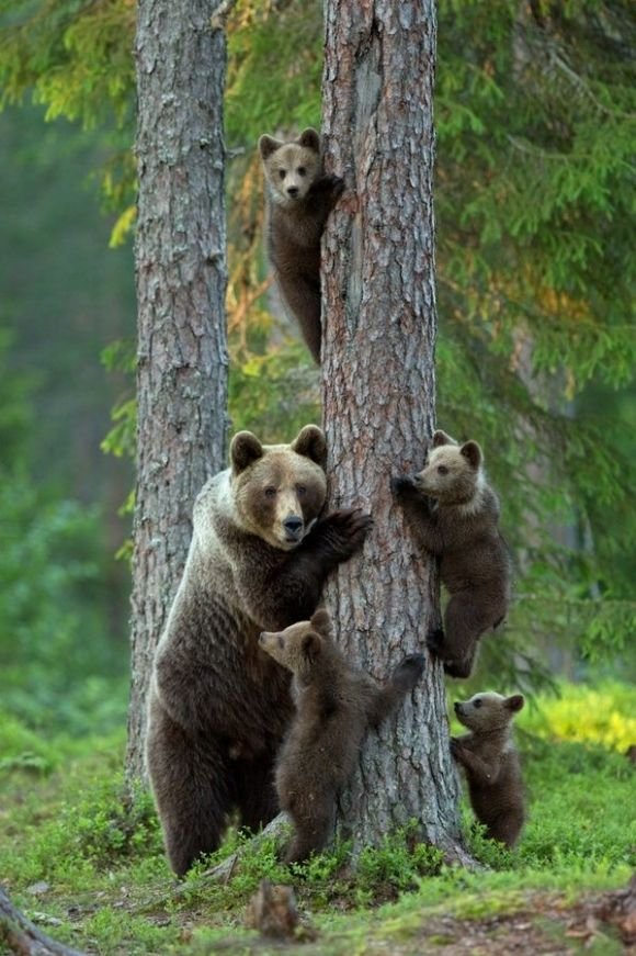 Mama bear teaching her cubs how to climb