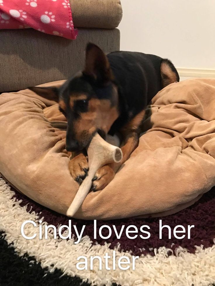 Little Miss Cindy - living the beanbag life with her medium antler. Check the link to see more about medium antlers available.