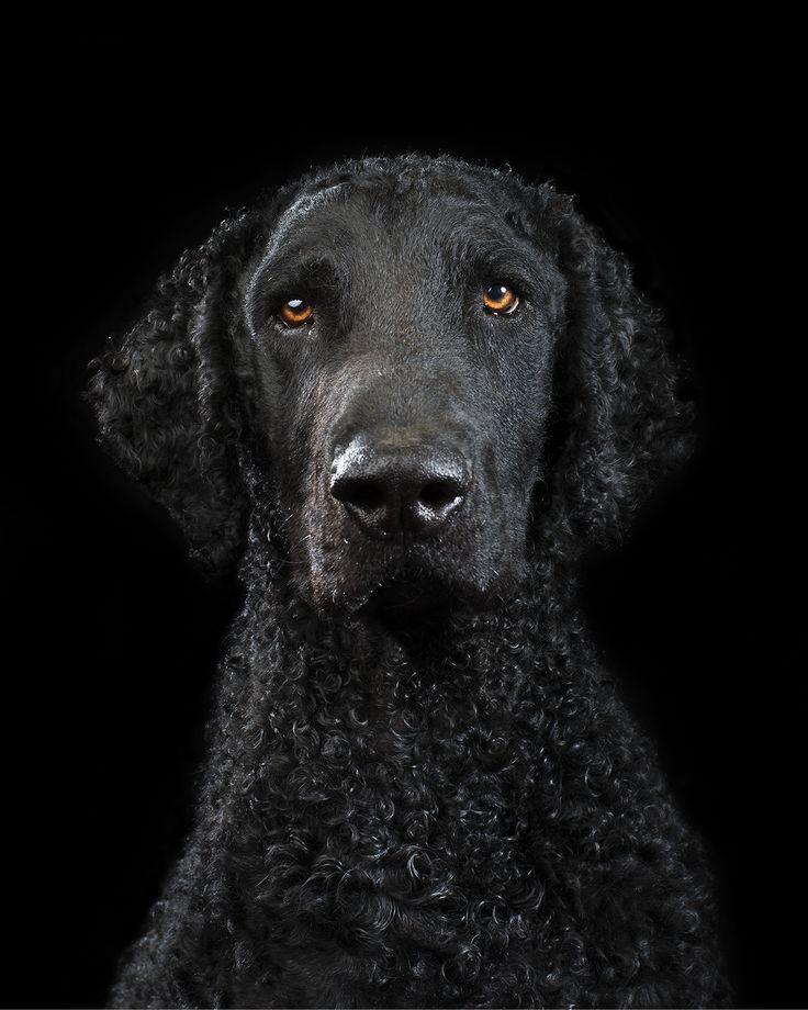 Black on Black   Svart er tidløst, lekkert, mystisk, elegant, klassisk - og det går aldri av moten. Svarte bakgrunner kan være vanskelig å få helt riktig, og svarte hunder regnes blandt de vanskeligste å fotografere. Slår man sammen disse os skal fotografere svarte hunder på en svart bakgrunn så kan det blir veldig