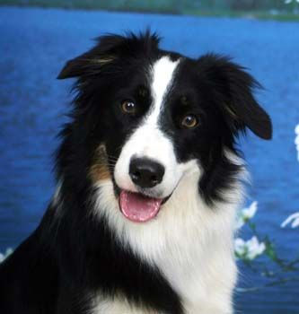 I love these dogs. The Border Collie originated in the border country between Scotland and England. They have developed the unique working style of gathering and fetching the stock with wide sweeping outruns. Selective breeding over hundreds of years developed the Border Collie's intensity, energy and trainability and the Border Collie has extraordinary instinct and an uncanny ability to reason.