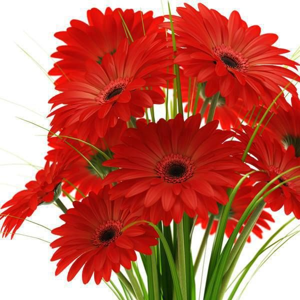 red daisy flower hd - photo #28