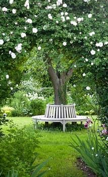 Arch with Rosa 'Adélaide d'Orléans', wooden bench around tree - what a lovely backyard