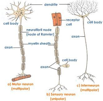 action+potential+nerve+impulse | Fig 1. Scanning electron micrograph of two types of neurons: a bipolar ...