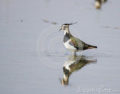 Northern lapwing - Pavoncella - vanellus vanellus