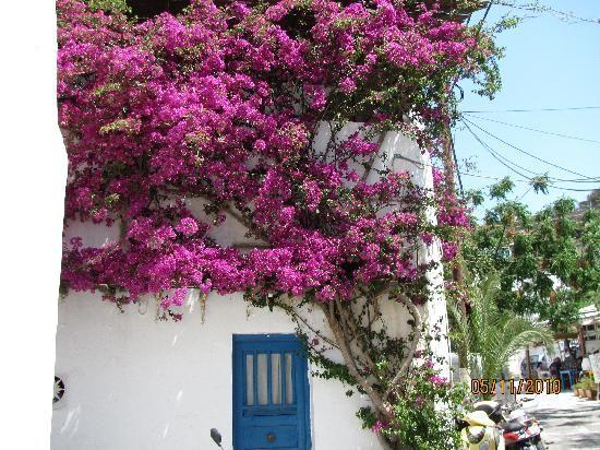 Wild boukamvilia in Mykonos