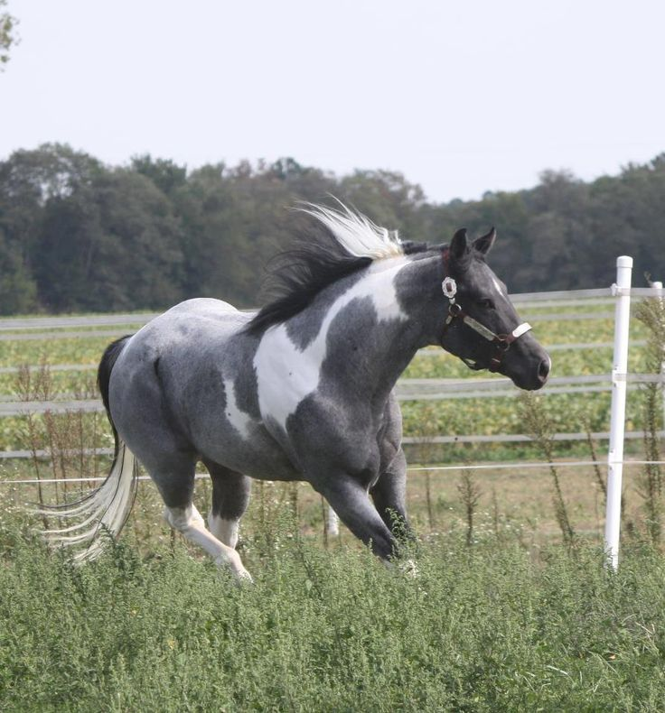 Forest Midnight Comet…he's a Blue Roan Tobiano APHA stallion…standing 16 hands high with a lot of versatility…flash and color…he's a World Challenge Champion and a Reserve World Champion