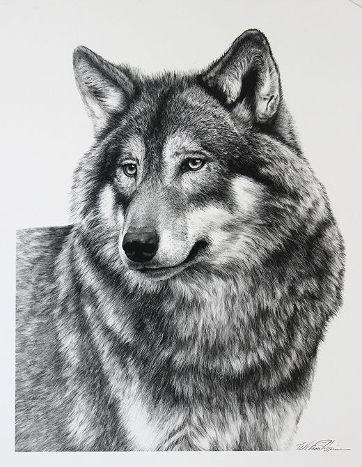Wolf. Majestic Wildlife Carbon Pencil Drawings. To see more art and information about Bill Harrison click the image.