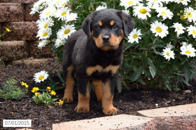 Rottweiler Puppy for Sale in Ohio #BuckeyePuppies