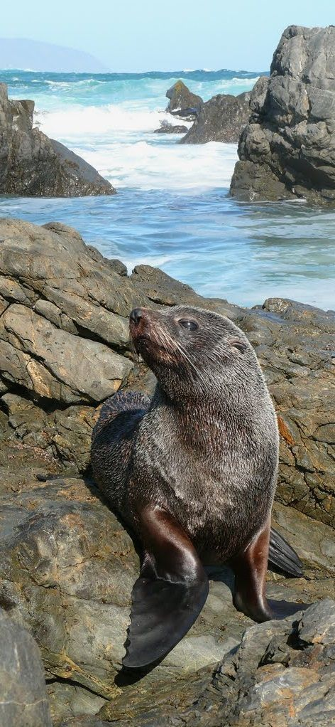 New Zealand Fur Seal, South Coast, Wellington NZ