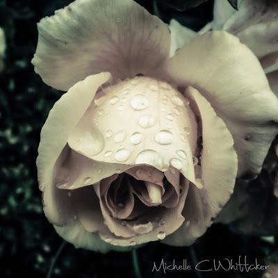 The Fragrant Rose: Rainy Day - I just love it when everything comes together rain drops 💦 on Sahara rose