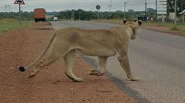 Photo credit : Xander Vermaak #Dinokeng #XombanaGR #March4Lions ban canned hunting!