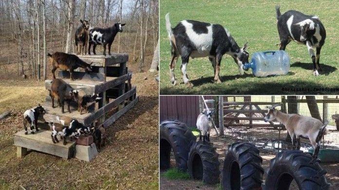 Diy Spielzeug Fur Ziegen Um Sie Beschaftigt Zu Halten Dekorationen Ziege Ziege Spielplatz Ausgestopftes Tier